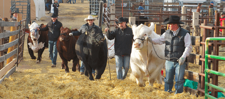 National Western Stock Show Livestock Shows| The Denver Ear