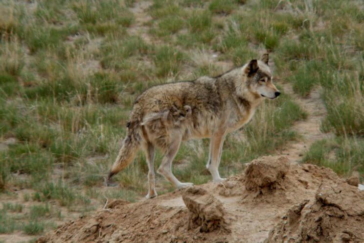 Colorado Wolf & Wildlife Sanctuary | The Denver Ear