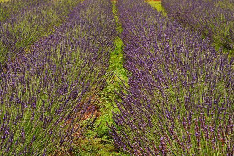 Lavender Association of Western Colorado | The Denver Ear