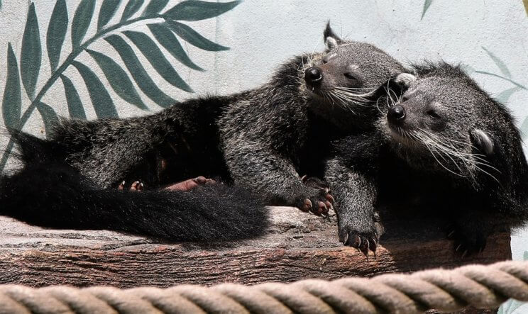 Binturong Bearcat | The Denver Ear